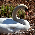 Maria Urso - Artist and Photographer - Nesting Swan 2013