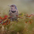 Susan Capuano - Northern Flicker In Fall...