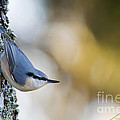 Torbjorn Swenelius - Nuthatch in the...