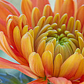 Heidi Smith - Orange Mum Closeup