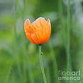 Karin Ubeleis-Jones - Orange Poppy #1