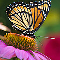 Christina Rollo - Orange Viceroy Butterfly