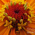 Ausra Paulauskaite - Orange Zinnia. Up Close...