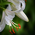 Julie Palencia - Oriental Lily in White