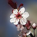 Lara Ellis - Ornamental Plum Blossom