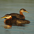 James Peterson - Pair of Red-necked Grebes