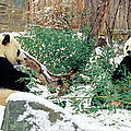 Chris Scroggins - Panda Bears in Snow