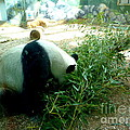 Renee Trenholm - Panda Eating Our Donated...