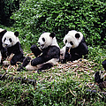 Joan Carroll - Pandas in China