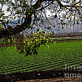 Panoramic Of Winter Lettuce by Robert Bales