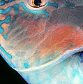 Dawn Eshelman - Parrotfish 2