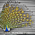 Williams-Cairns Photography LLC - Peacock