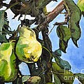 Lori Pittenger - Pears for Picking