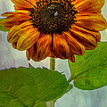 Laura Duhaime - Perfect Sunflower
