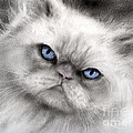 Svetlana Novikova - Persian Cat with blue...