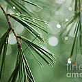 Andrea Gingerich - Pine After the Rain