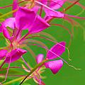 Pink Cleome Or Spider Flower  by RM Vera