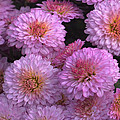 Johnson Moya - Pink Mum Flowers 1