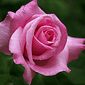 Rona Black - Pink Rose Perfection
