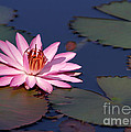 Sabrina L Ryan - Pink Water Lily in the...