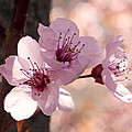 Rona Black - Plum Blossoms