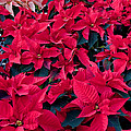 Valerie Garner - Poinsettia Plants with...