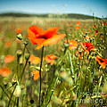 Andrea Gingerich - Poppy Field