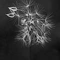 Rona Black - Portrait of a Dandelion