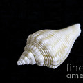 Arlene Carmel - Portrait Of A Sea Shell