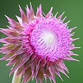 Maria Urso - Artist and Photographer - Purple Bristle Thistle