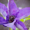 Peggy  Franz - Purple Clematis Close Up