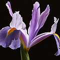 Juergen Roth - Purple Iris