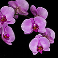 Tessa Fairey - Purple Orchid 1