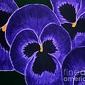 Barbara Griffin - Purple Pansies Dark Faces