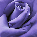 Jennie Marie Schell - Purple Velvet Rose Flower
