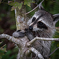 Bill Martin - Raccoon