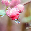 Peggy  Franz - Raindrops on Pink Beauty