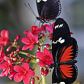 Saija  Lehtonen - Red and White Longwing...