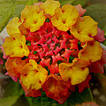 Pamela Phelps - Red and Yellow Lantana