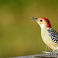 Sabrina L Ryan - Red Bellied Woodpecker