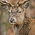 World Wildlife Photography - Red Deer Pictures 63