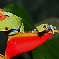 Bob Hislop - Red eyed tree frogs