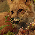 Inspired Nature Photography By Shelley Myke - Red Fox in Autumn Leaves...