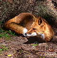 Kathy Baccari - Red Fox Resting