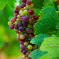 Red Grapes by Hannes Cmarits