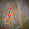 Mary Zeman - Red Grass
