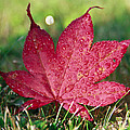 Eti Reid - Red maple leaf and dew