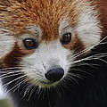 Sharon Bennett - Red Panda