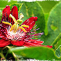 Geraldine Scull ART - Red passion Flower red...