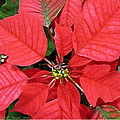 Danielle  Parent - Red Poinsettias